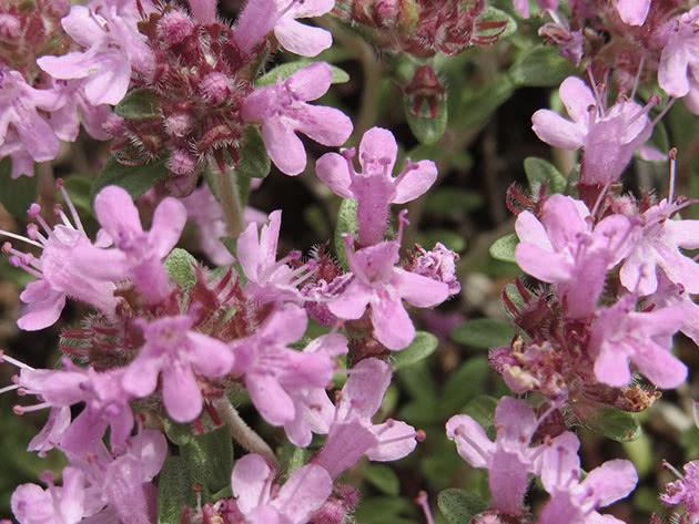 thymus6a_serpyllum.jpg