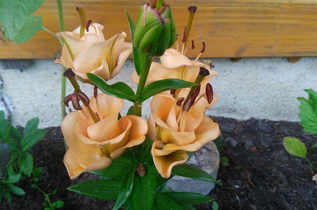 Лилия Априкот Фьюдж — описание, уход, посадка и выращивание 🌺