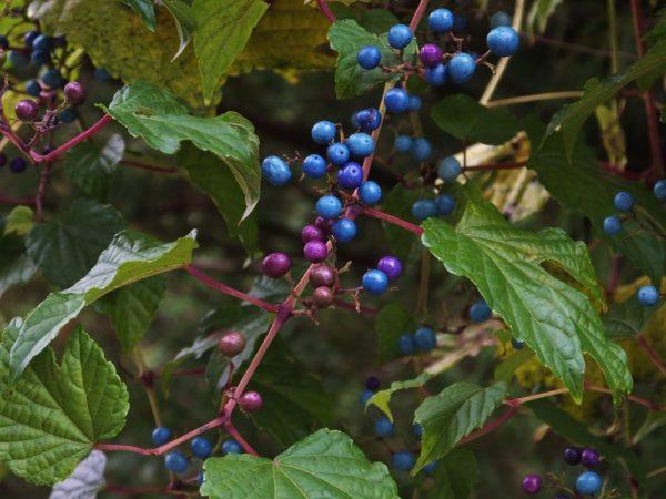 vinogradovnik2-600x450.jpg