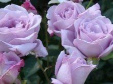 fioletovye-i-sirenevye-rozy-sorta-s-opisaniem-i-vyrashchivanie-2.jpg