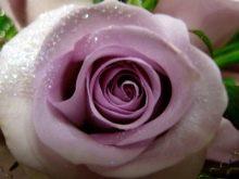 fioletovye-i-sirenevye-rozy-sorta-s-opisaniem-i-vyrashchivanie-3.jpg