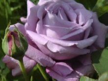 fioletovye-i-sirenevye-rozy-sorta-s-opisaniem-i-vyrashchivanie-4.jpg