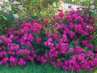 fioletovye-i-sirenevye-rozy-sorta-s-opisaniem-i-vyrashchivanie-5.jpg