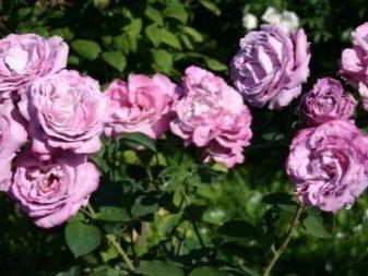 fioletovye-i-sirenevye-rozy-sorta-s-opisaniem-i-vyrashchivanie-6.jpg