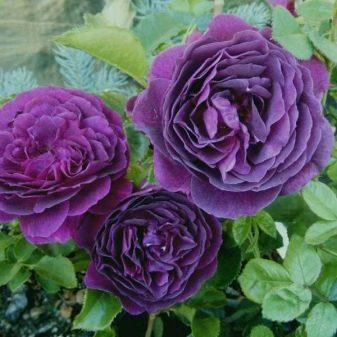 fioletovye-i-sirenevye-rozy-sorta-s-opisaniem-i-vyrashchivanie-17.jpg
