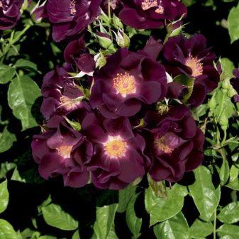 fioletovye-i-sirenevye-rozy-sorta-s-opisaniem-i-vyrashchivanie-18.jpg