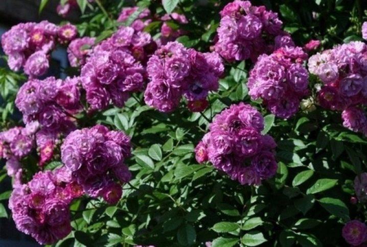 fioletovye-i-sirenevye-rozy-sorta-s-opisaniem-i-vyrashchivanie-19.jpg