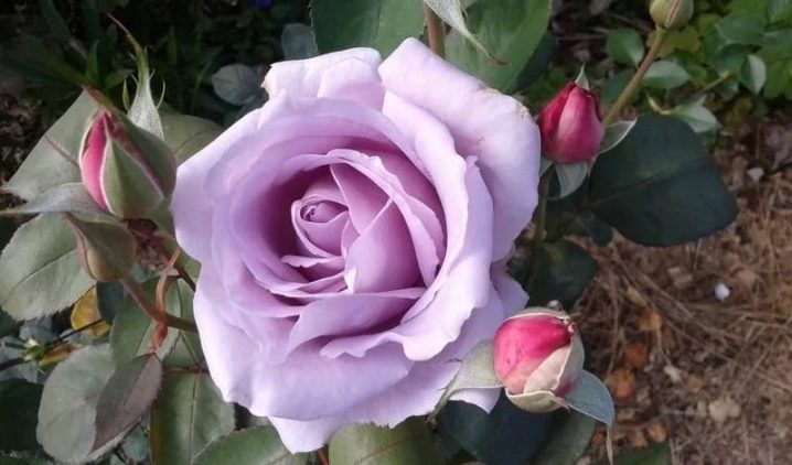 fioletovye-i-sirenevye-rozy-sorta-s-opisaniem-i-vyrashchivanie.jpeg