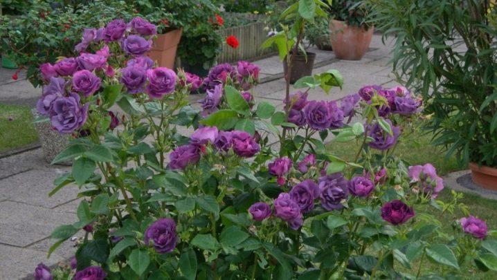 fioletovye-i-sirenevye-rozy-sorta-s-opisaniem-i-vyrashchivanie-26.jpg