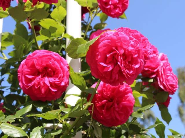 roza-maritim.jpg