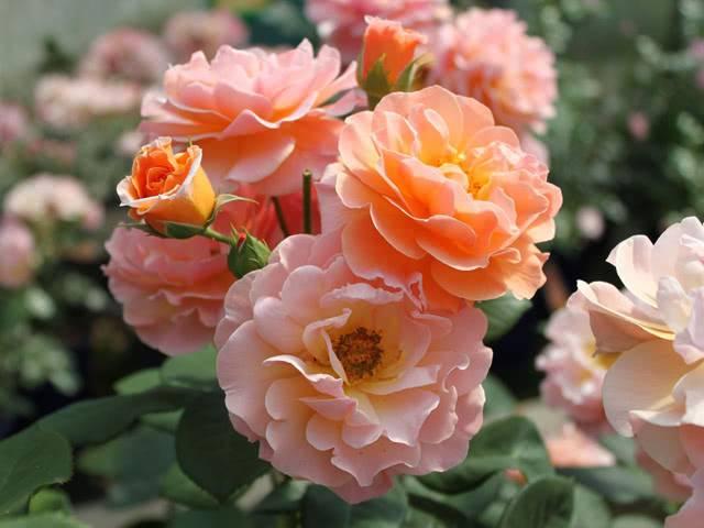 roza-arabia.jpg