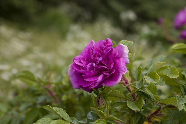 fioletovye-rozy-2.jpg