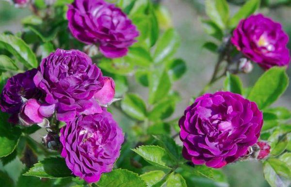 fioletovye-rozy-6.jpg