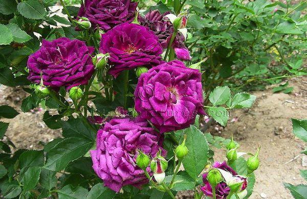 fioletovye-rozy-5.jpg