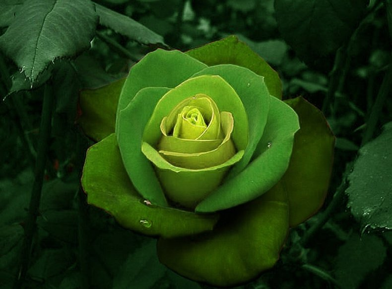 zelenaja-roza.jpg