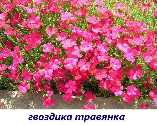 gvozdika-diantus3.jpg