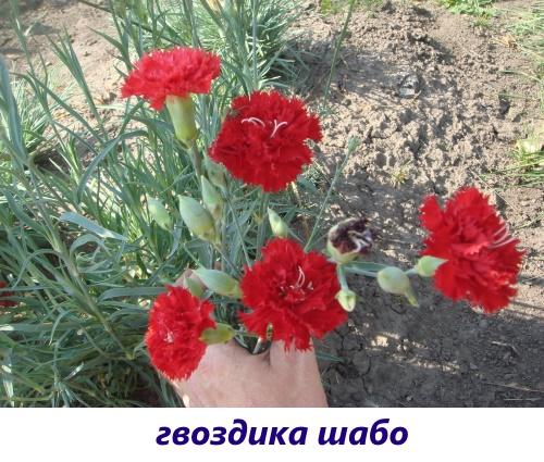 gvozdika-diantus4.jpg