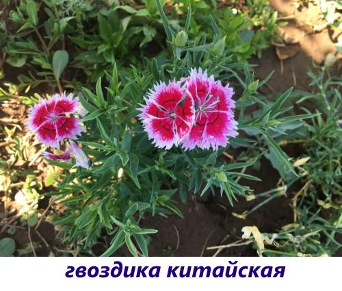 gvozdika-diantus6.jpg