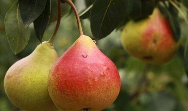 pear-370x220.jpg