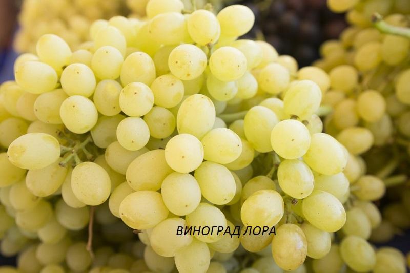 vinograd-lora.jpg