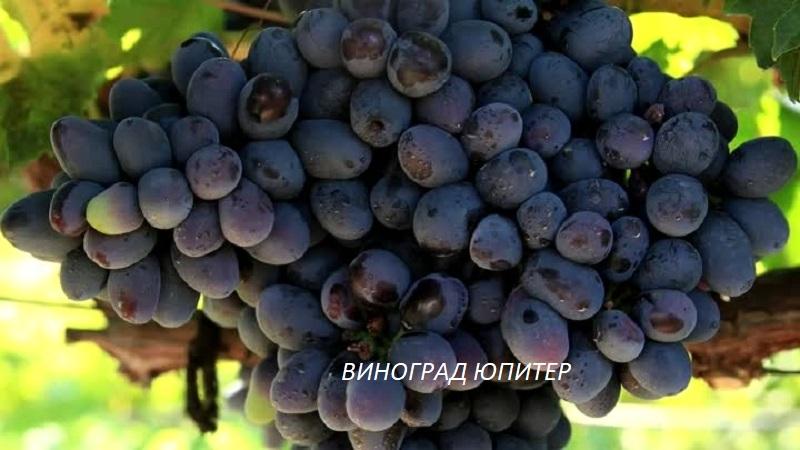 vinograd-yupiter.jpg