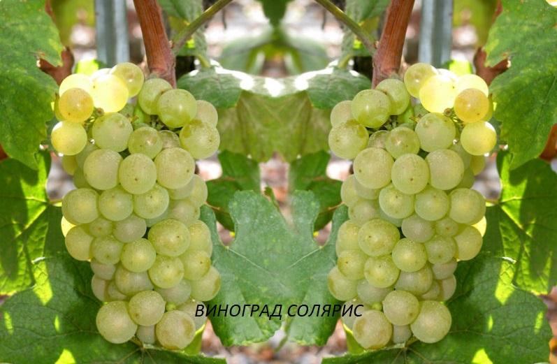 vinograd-solyaris.jpg