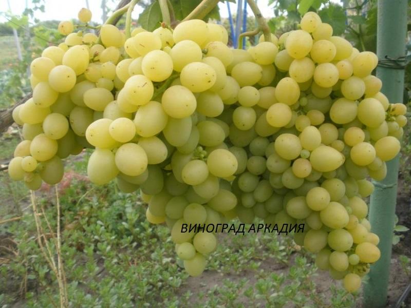 vinograd-arkadiya.jpg