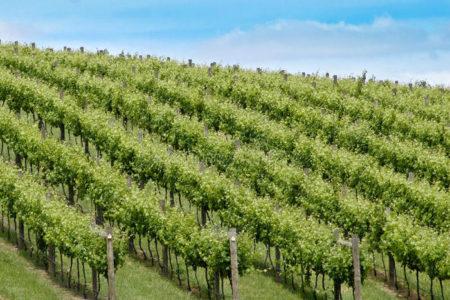 vinogradnik-u-sklona-450x300.jpg
