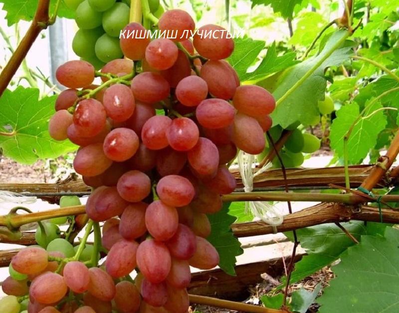 vinograd-kishmish-luchistyy.jpg