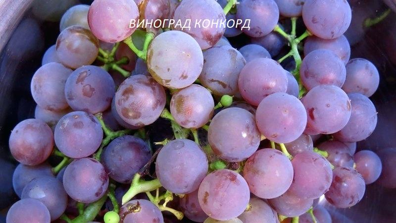 vinograd-konkord.jpg