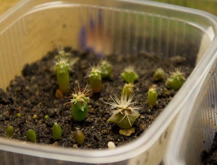 kak-vyrastit-kaktus-iz-semyan-v-domashnih-usloviyah-1.jpg