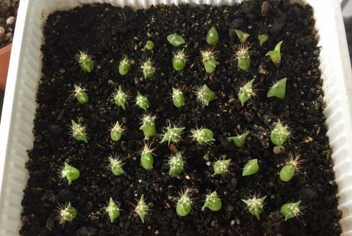 kak-vyrastit-kaktus-iz-semyan-v-domashnih-usloviyah-7.jpg