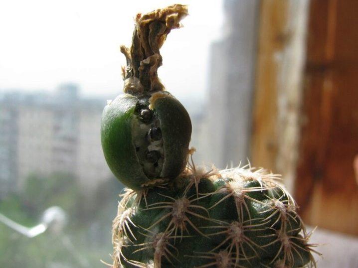 kak-vyrastit-kaktus-iz-semyan-v-domashnih-usloviyah-2.jpg