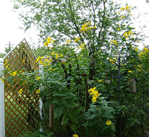 Cvety-topinambura-ukrasyat-priusadebnyy-uchastok.jpg