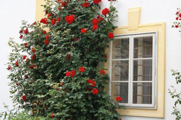 Pochemu-rozy-ne-cvetut-a-kustjatsja-e1504961649841.jpg