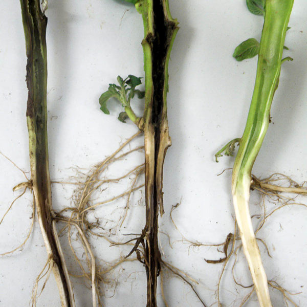 damping-off_of_-seedlings_01-2-600x600.jpg
