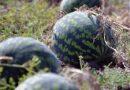 Арбуз Холодок: описание и характеристика сорта, выращивание и борьба с вредителями