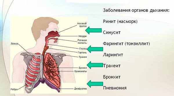 anatomiy-organov-dyhaniya.jpg