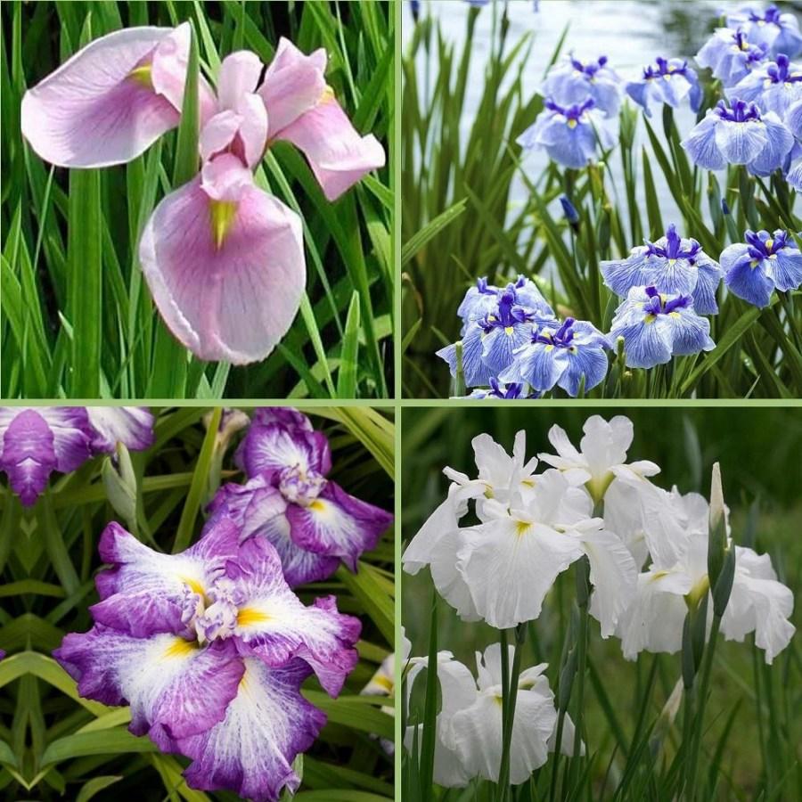 TSvetok-iris-65.jpg