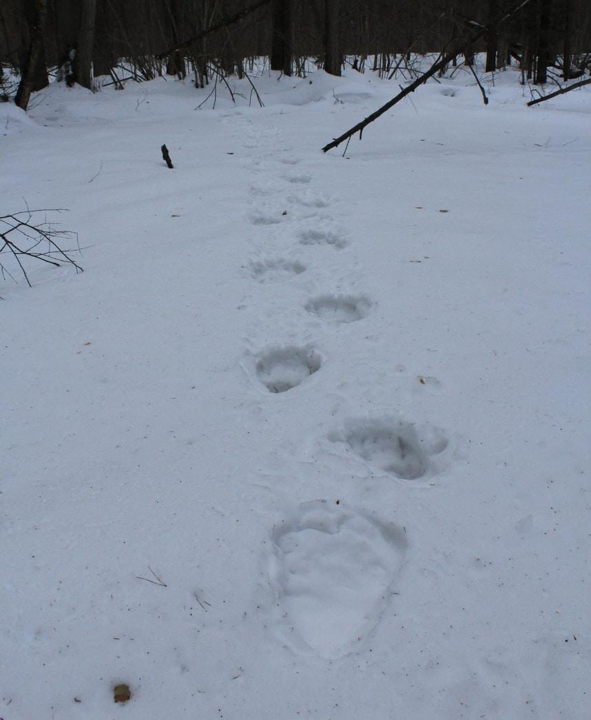 sledy-medvedya-na-snegu.jpg