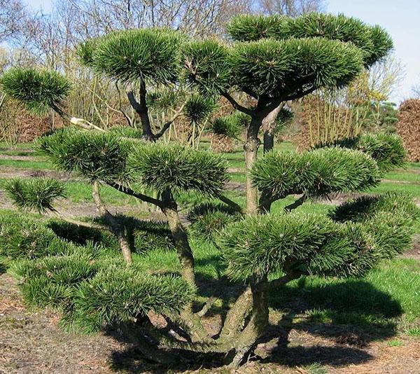 originalnyy-bonsay-sosna.jpg
