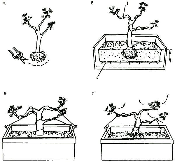 formirovanie-sosny-bonsay.jpg