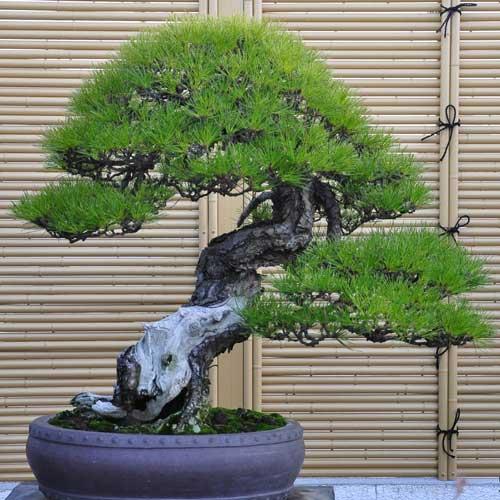 black-pine.jpg