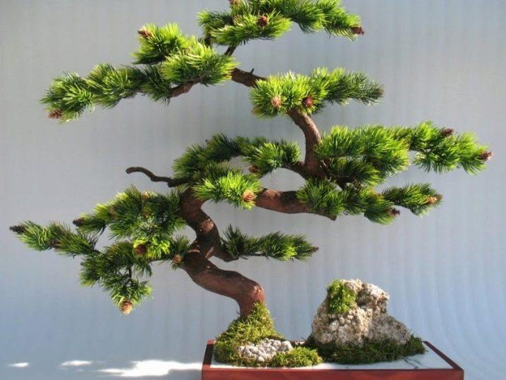 kak-sdelat-bonsaj-iz-sosny-svoimi-rukami-22.jpg