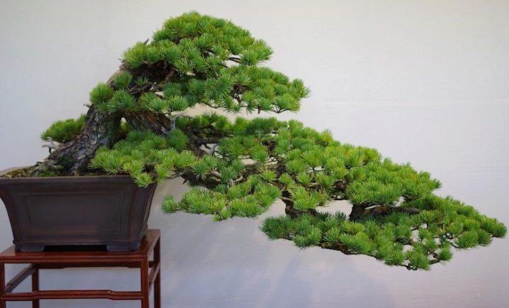 kak-sdelat-bonsaj-iz-sosny-svoimi-rukami-13.jpg
