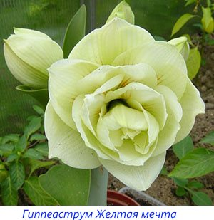 Gippeastrum-dvoynoy-ZHeltaya-mechta.jpg