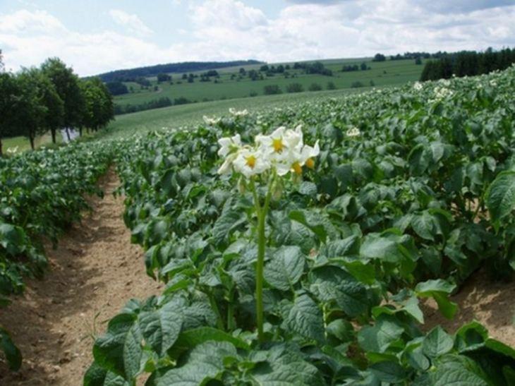 Kartofel-2.jpg