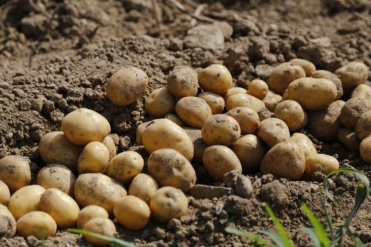 Kartofel-3.jpeg