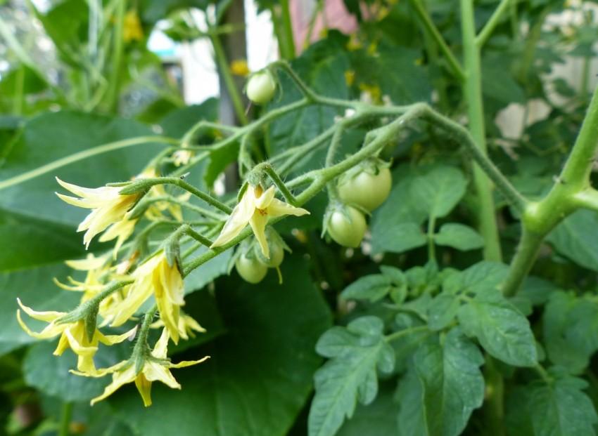 Bornaya-kislota-dlya-tomatov-41.jpg