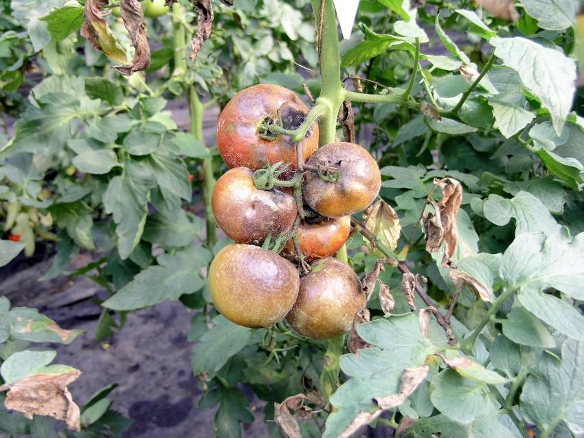 Bornaya-kislota-dlya-tomatov-6.jpg